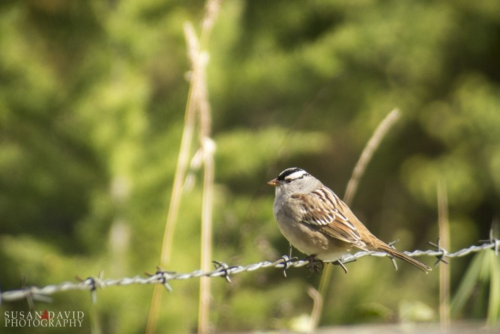White-Crowned-Sparrow-1024x684.jpg