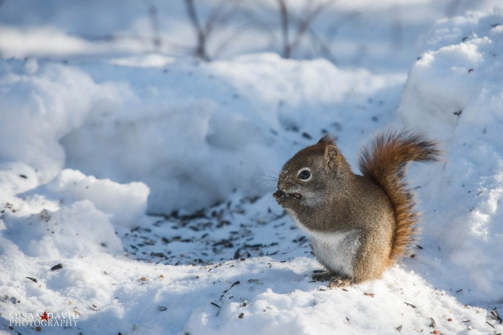Red-Squirrel-1024x683.jpg