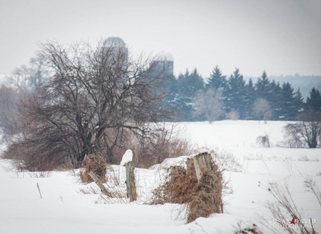Snowy-Owl-1024x749.jpg