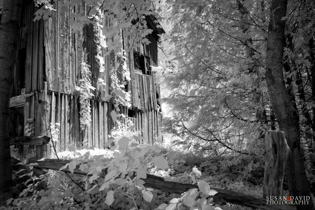 Ivy Covered Barn Infrared
