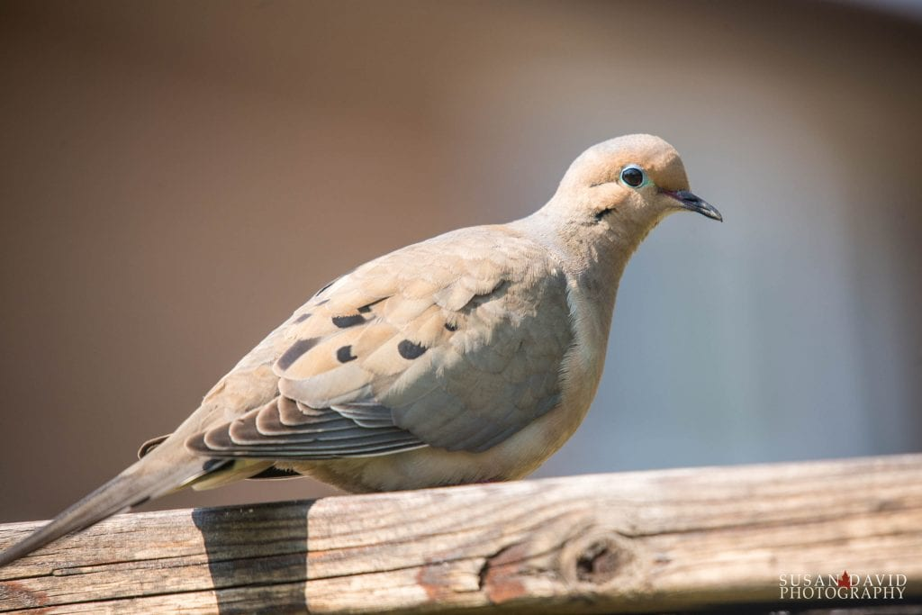 Mourning-Dove-1024x683.jpg