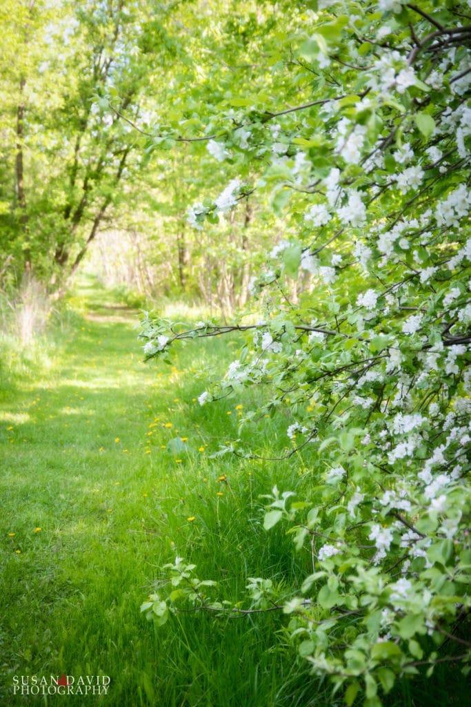 Apple-Blossoms-683x1024.jpg