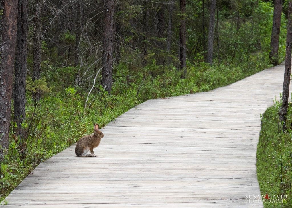 Hare on the Boardwalk