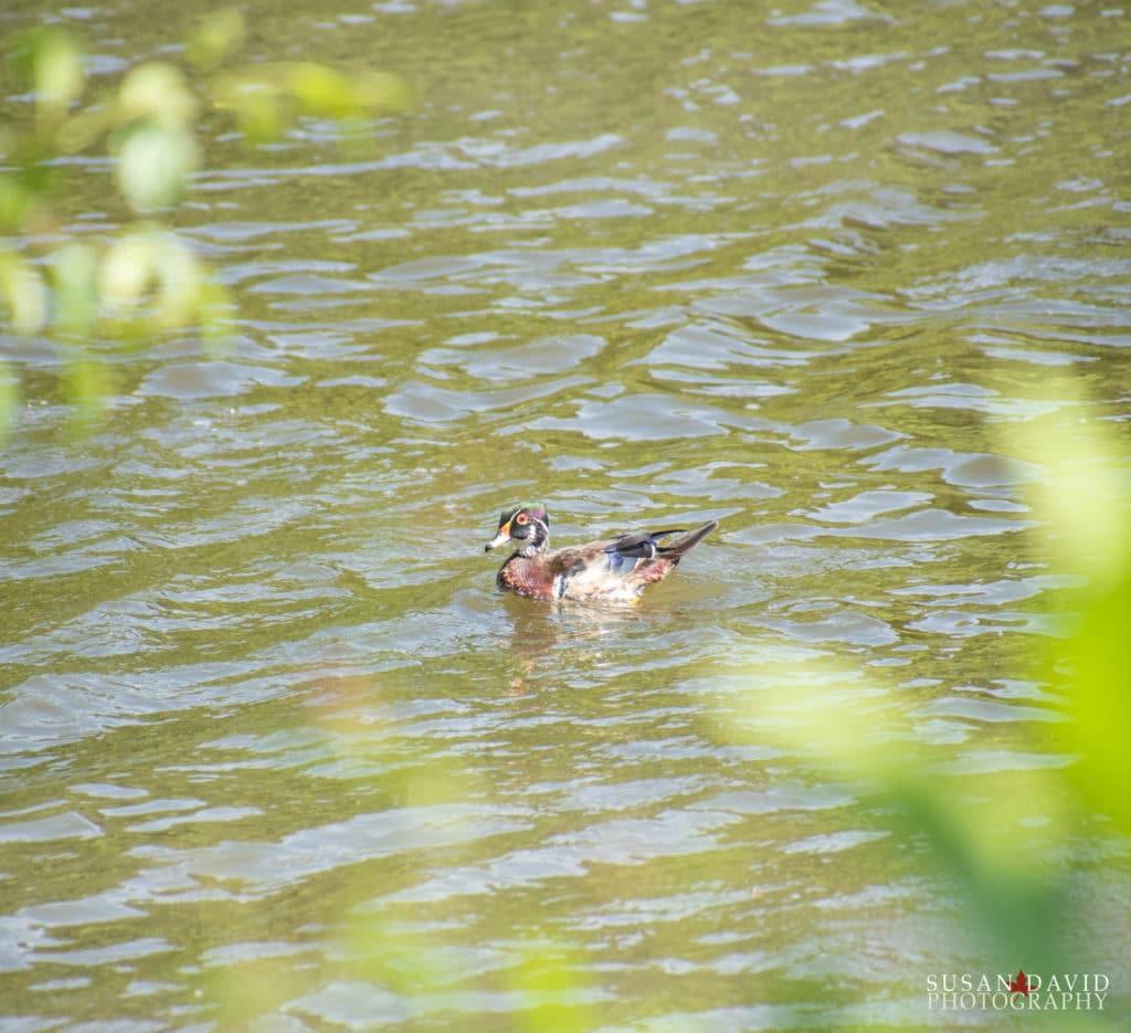 Wood-Duck-1024x935.jpg