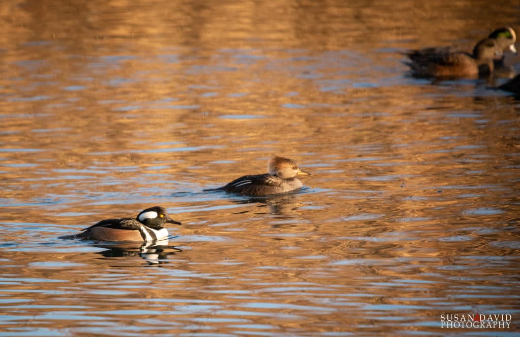 Merganser couple