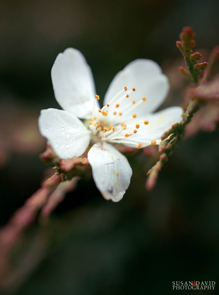 Dying Apple Blossom