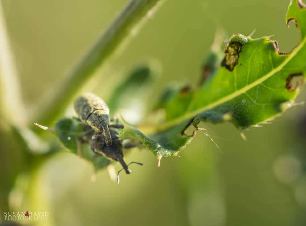 Clover Seed Weevils