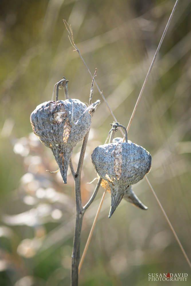 Common Milkweed Casings