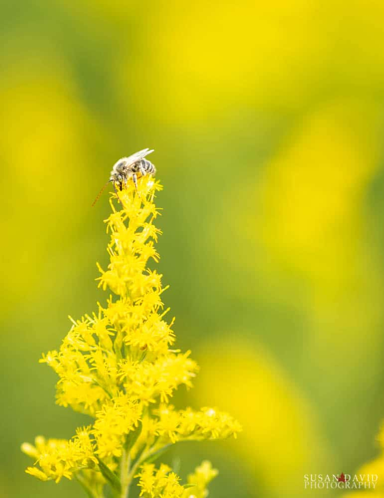 Bee on Goldenrod