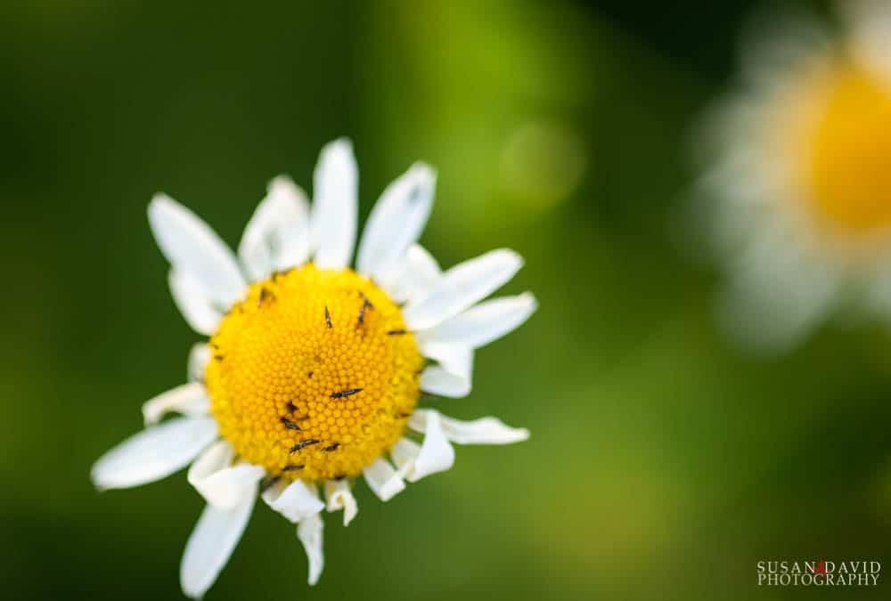 Buggy Daisy