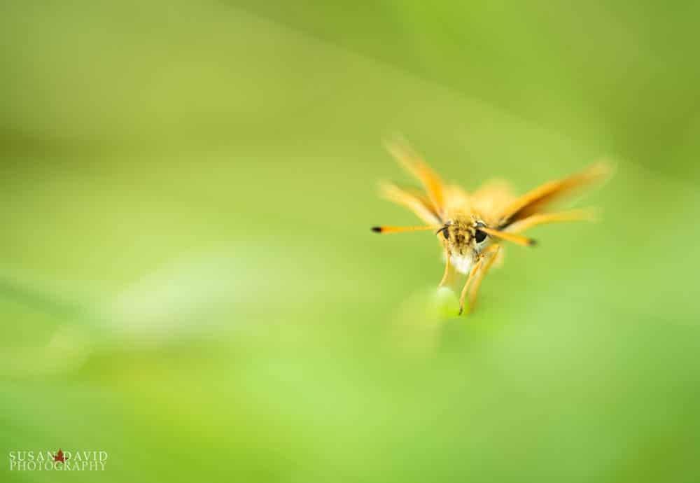 Orange Skipper