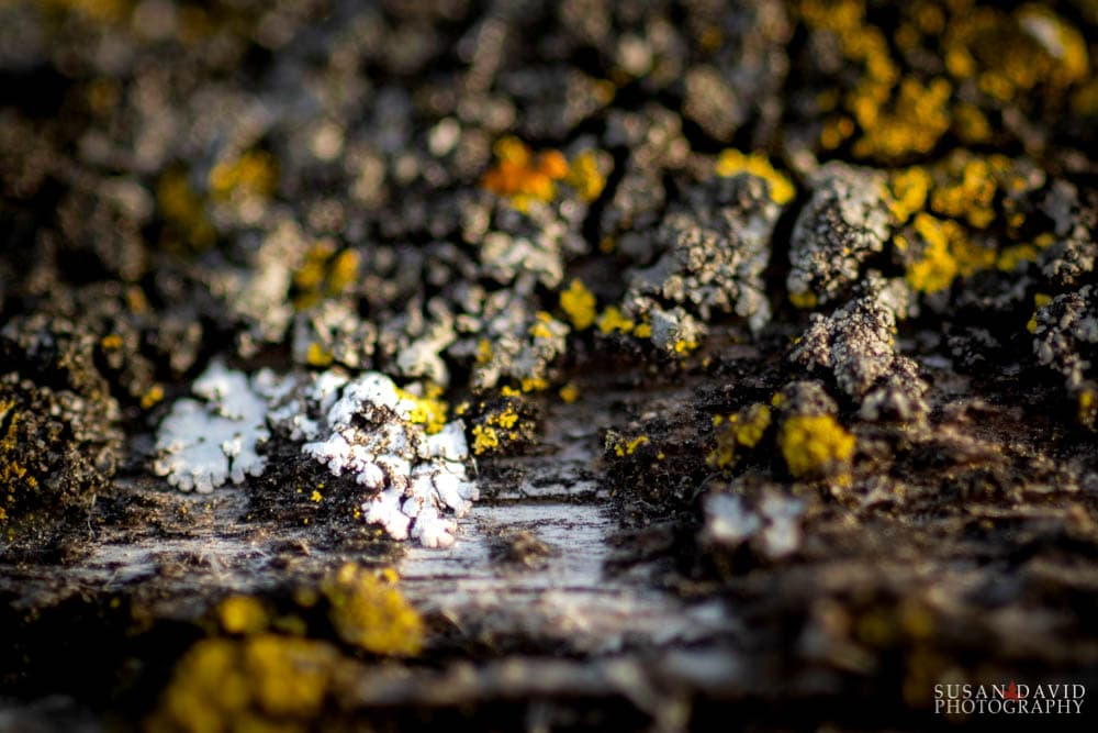 Rosette Lichens