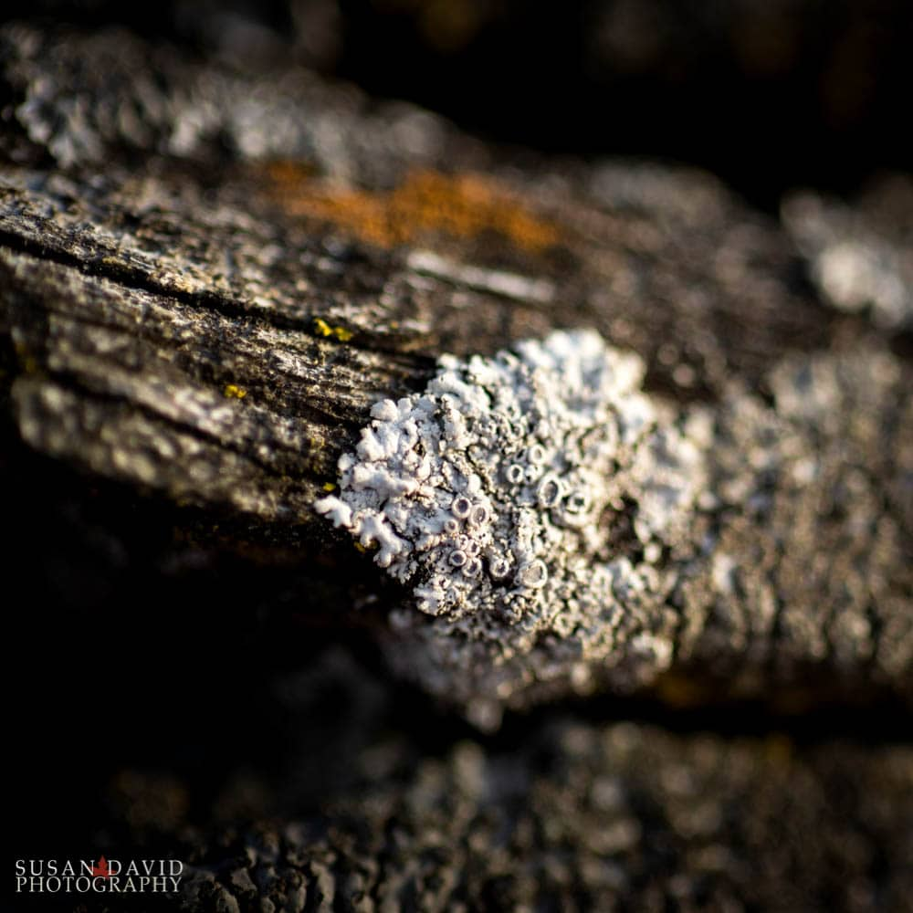 Star Rosette Lichen