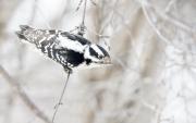 Downey_Woodpecker