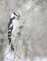 Downey_Woodpecker_Male