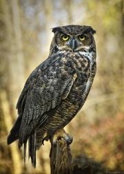 Great_Horned_Owl