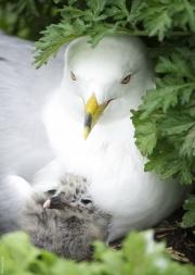 Mom_n_Baby_Gull