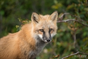 Newfoundland Fox