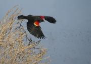 Red-Winged_Blackbird_in_Flight