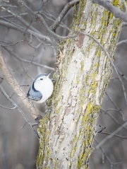 White-Breasted_Nuthatch