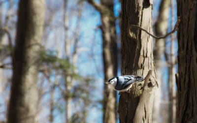 Nuthatch in Claireville