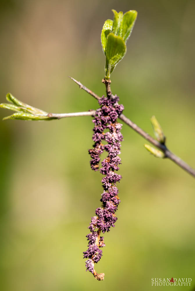 Purple Catkin