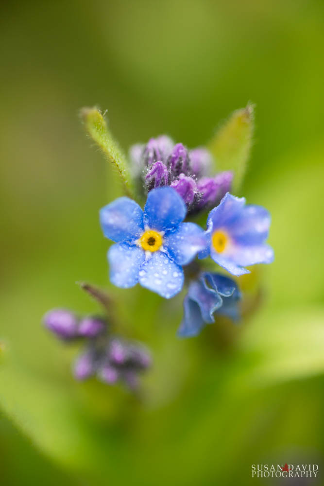 Wet Forget-Me-Nots