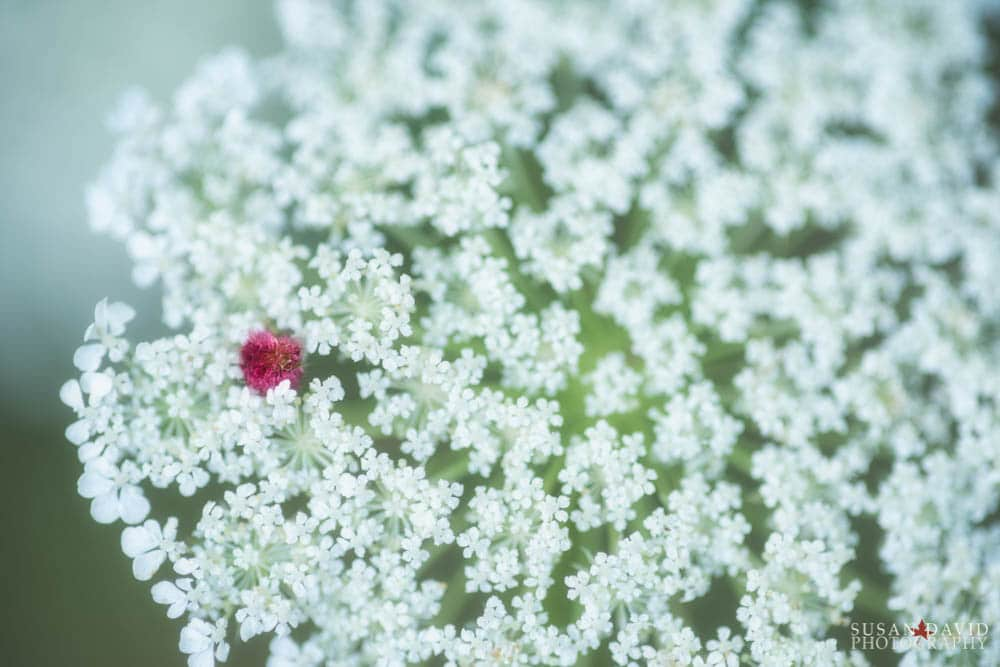 Sumac petal on Queen Anne's Lace