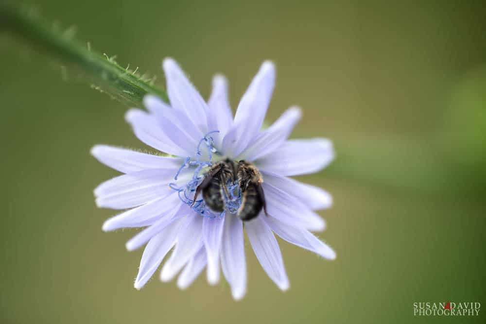 Two Bees on Chicory Flower