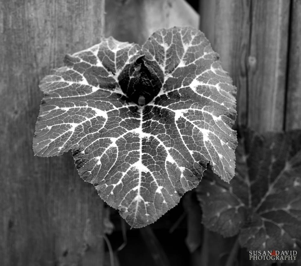 Zuchinni leaf